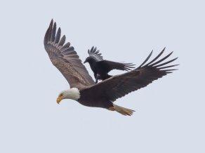 Eagle-and-Crow-5